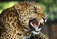WATCH: Leopard strays into Indian city, attacks residents